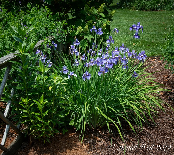 Siberian Iris 'Seneca Midnight Blues'