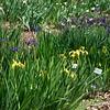 Louisiana Iris - 'Dixie Deb'