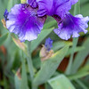 Tall Bearded Iris 'Walking on Air'
