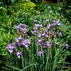 Siberian Iris - 'Light of Heart'