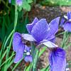 Siberian Iris 'Jaybird'