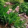 Tall Bearded Iris - 'Little John'