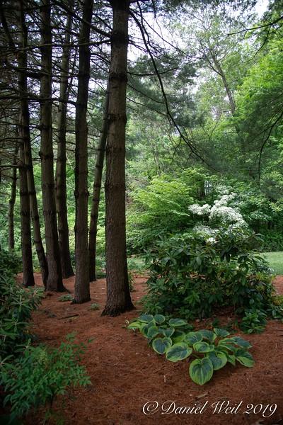 Hosta Walk through the pines