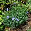 Siberian Iris - 'Lake Keuka'