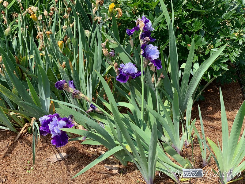 "Tall Bearded Iris ""Rainy River'"