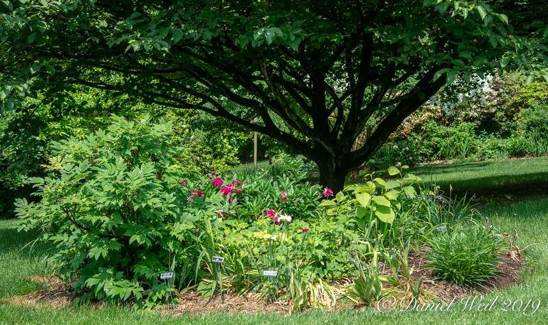 Tree Peony and other perennials under Styrax Obassia