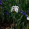 Laevigata iris seedling