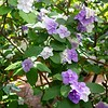 Yesterday, Today and Tomorrow (Brunfelsia pauciflora)