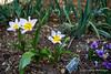 "Tulipa saxitilis ""Lilac Wonder"""