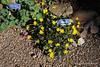 Aquilegia vulgaris and Ranunculus ficaria 'Brazen Hussy'