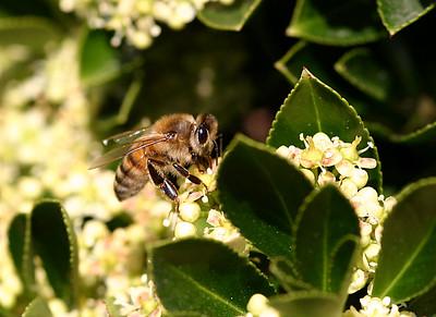 California Pollen