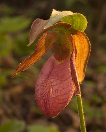 Pink Lady's-Slipper, Shawnee State Forest