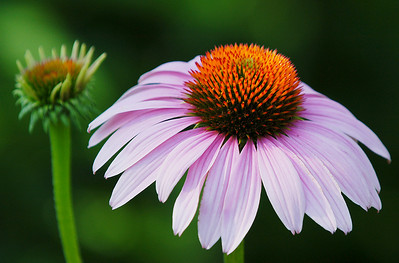 Purple Coneflower, Wood County