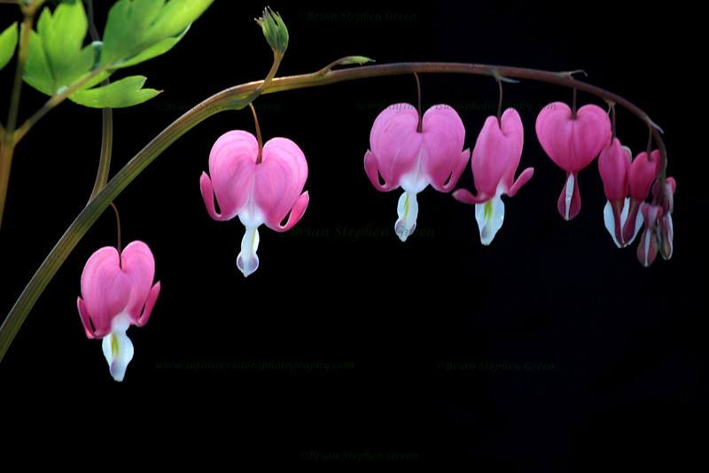 """Bleeding Hearts"""