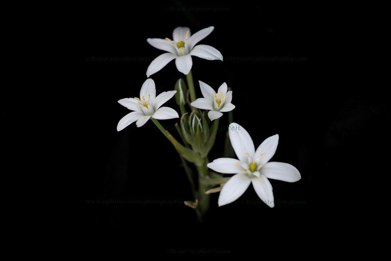"""Star of Bethlehem"""
