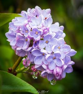 Dewy Lilac