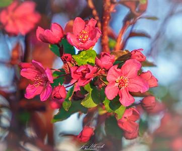 Flowering Crab Apple