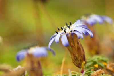 Perezia recurvata, Fam. Asteraceae