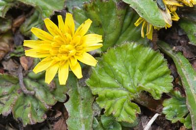 Taraxacum gilliesii, Fam. Asteraceae