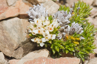 Nassauvia pygmaea, Fam. Asteraceae