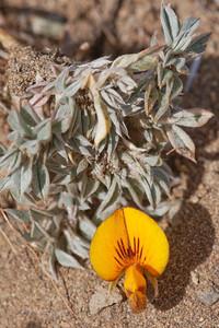 Adesmia lotoides, Fam. Fabaceae