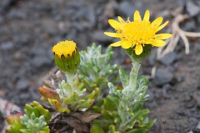 Senecio darwinii, Fam. Asteraceae