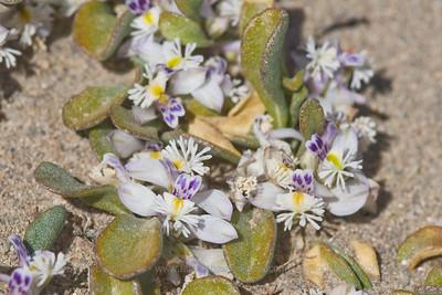 Polygala darwiniana, Fam. Polygalaceae