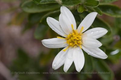 Chiliotrichum diffusum, Fam. Asteraceae