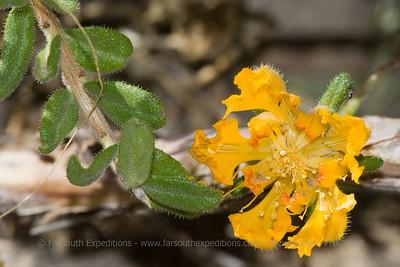 Loasa bergii, Fam. Loasaceae
