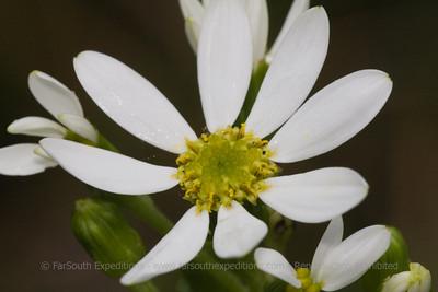Senecio acanthifolius, Fam. Asteraceae