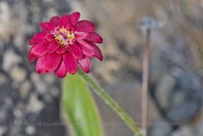 Leucheria purpurea, Fam. Asteraceae