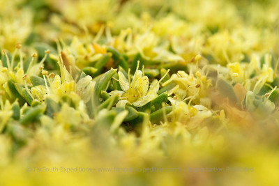 Azorella caespitosa, Fam. Apiaceae
