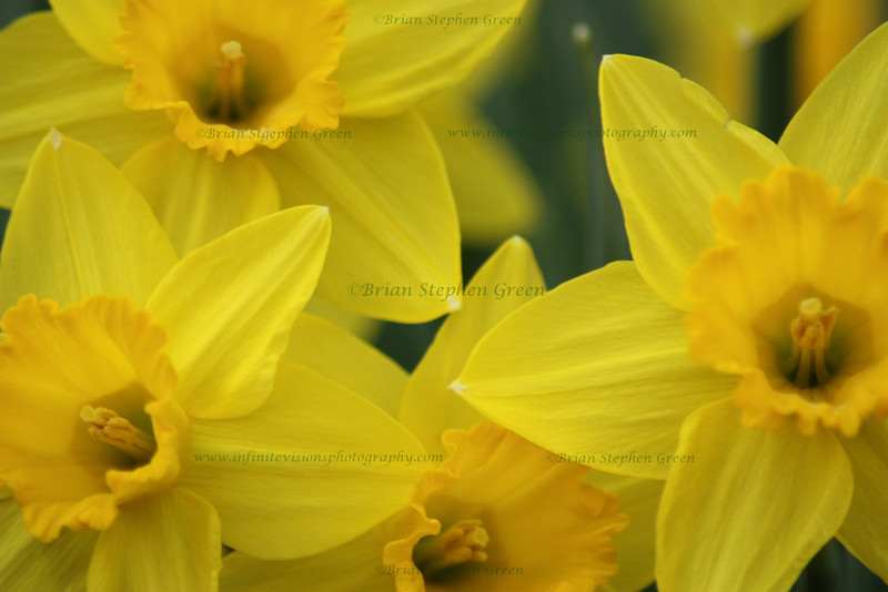 """Group of Daffodils"""