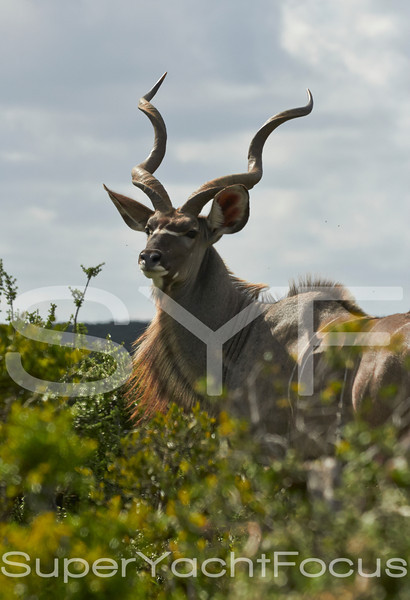Kudu, male