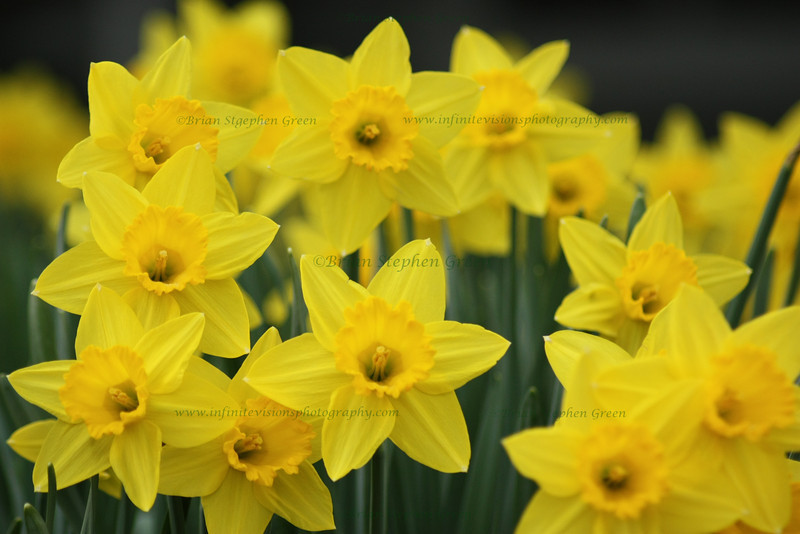 """Daffodils in Bloom"""