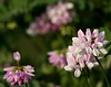 """Crown Vetch"""