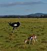 Ostrich and Springbok