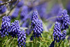 """Group of Muscari"""