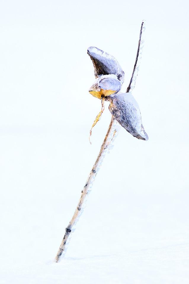 Mirabel, Quebec, Canada: Asclepiade commune (Asclepias syriaca) / Common Milkweed, Butterfly flower, Silkweed, Silky Swallow-wort, Virginia Silkweed (Asclepias syriaca)