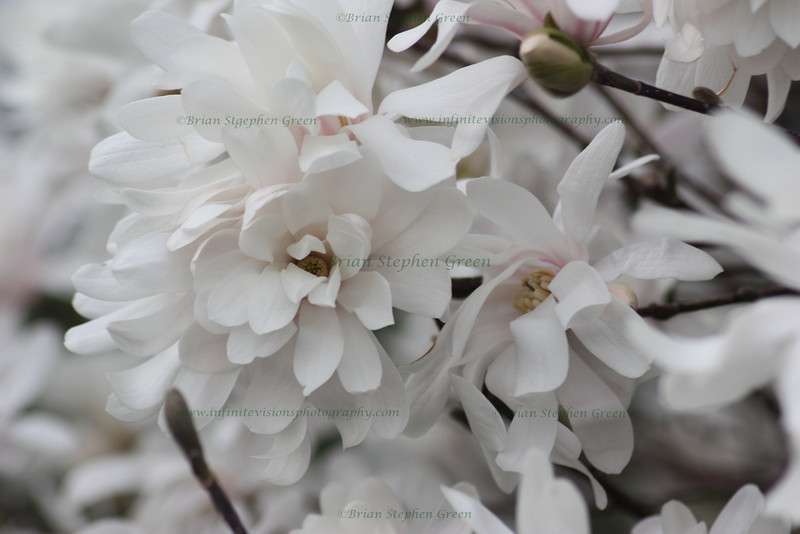 """Bunch of Magnolia Blossoms"""