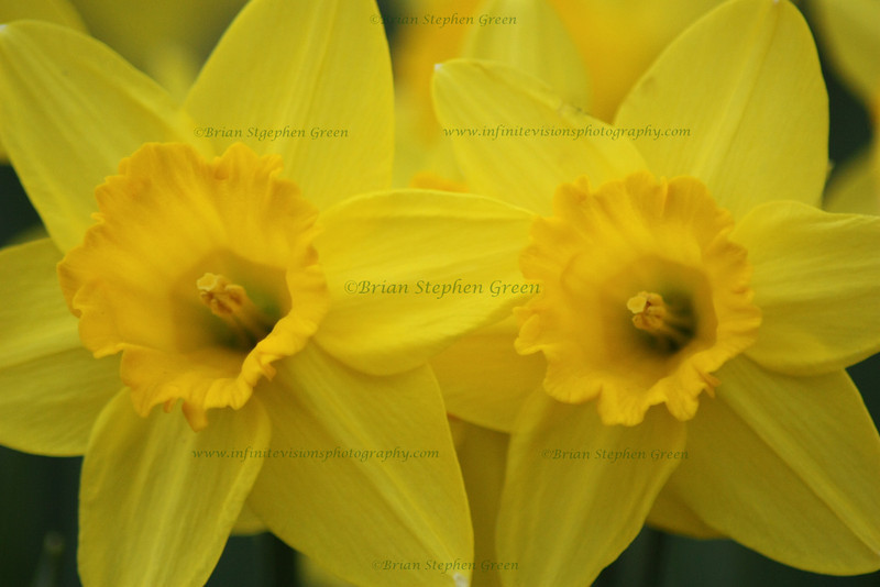 """Pair of Daffodils"""