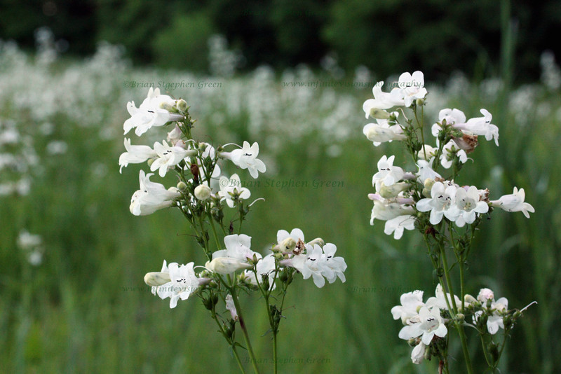 """Field of Beardtongue Foxglove"""