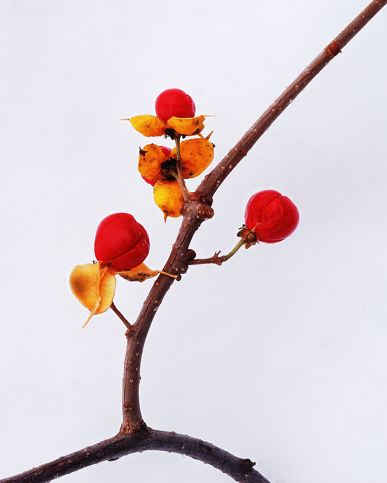 Varennes, Qc, Canada: fruits du Bourreau des arbres ( Celastrus scandens ) en hiver / Fruits of Climbing Bittersweet ( Celastrus scandens ) in winter.