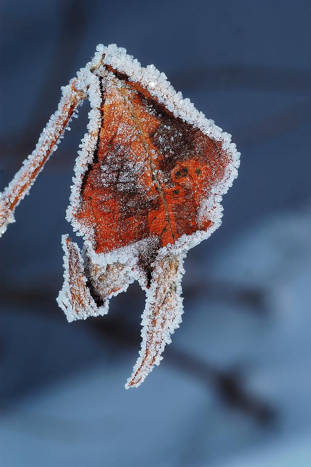 Varennes, Qc., Canada: Frosted leaf of a Weigelia. / Feuille givrée de Weigelia.