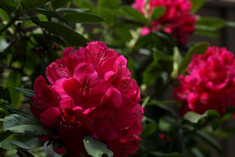 """Rosy Rhododendrons"""