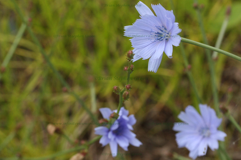 """Group of Chicory"""
