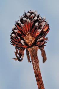 Varennes, Qc, Canada: Rudbeckie laciniée ( Rudbeckia laciniata ) givrée en hiver / Forsted Thimbleweed ( Rudbeckia laciniata ) on a winter day.
