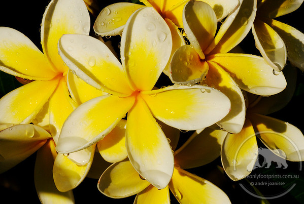 Frangipani flowers collecting the rain