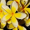 Frangipani flowers collecting the rain