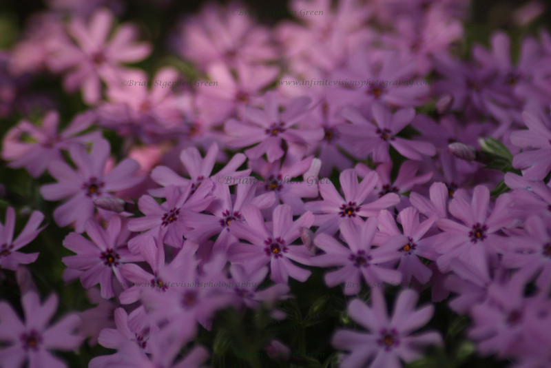 """Shady Patch of Phlox"""